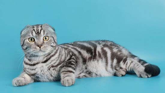 мраморный окрас шотландская вислоухая кошка фото