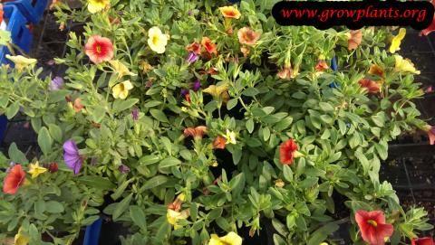 Calibrachoa million bells http://www.growplants.org/growing/calibrachoa-million-bells
