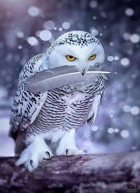 Snowy Owl / Coruja-das-Neves