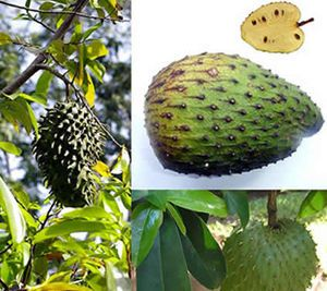 Soursop Fruit Kills Cancer 100-Fold better Than Chemotherapy  http://www.sott.net/articles/show/242555-Soursop-Fruit-100-Fold-Stronger-At-Killing-Cancer-Than-Chemotherapy