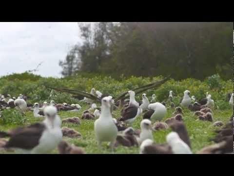 La courte vidéo que vous allez voir (3:55) montre une île qui se trouve en plein océan Pacifique, à 2000 kms de toutes côtes.     Sur cette île, personne n'habite, il n'y a que des oiseaux, et pourtant ... et pourtant ...    Regardez ce qui se passe ... Un petit film que tout le monde devrait voir et en tirer des conclusions ...  Malheureusement, les...