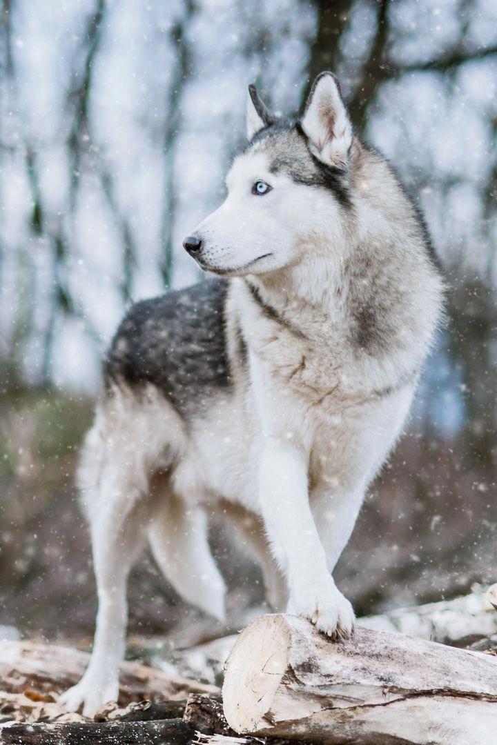 Discover Agile Siberian Husky Puppy Temperament