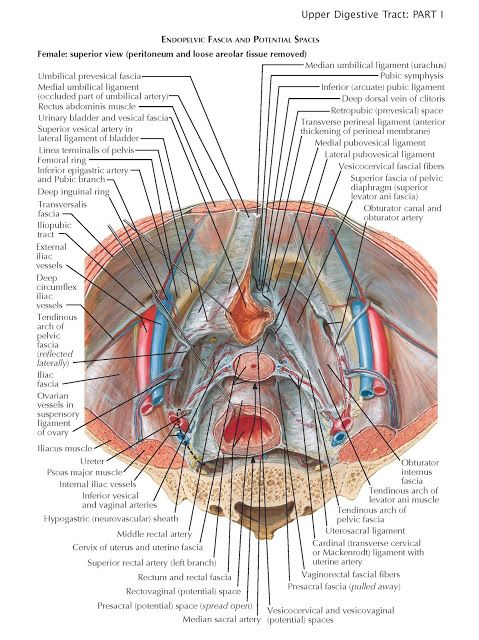Pelvic Fascia and Perineopelvic Spaces The steadily changing