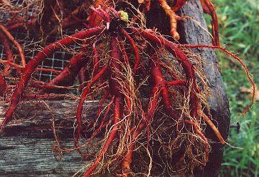 """Dan-shen Miltiorrhiza Sage (Salvia miltiorrhiza), Tan-shen or Dan-shen, Chinese Red Sage, Dan Shen, Danshen, """"丹参"""""""