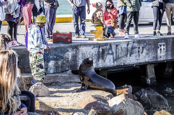 Feeding the seals at Hout Bay Harbor, Cape Town,