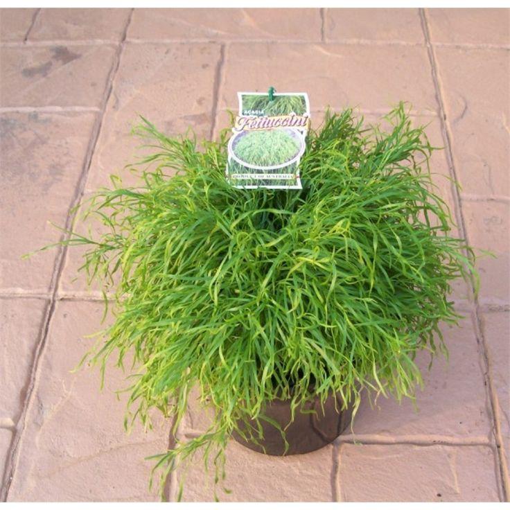 Plant-acacia 250mm Fettucinne