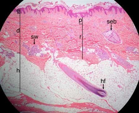 Skin. The skin consists of two layers, the epidermis and the dermis. Below the skin is a layer of areolar/adipose tissue called the hypodermis (or subcutaneous layer). The 40X image shows: e = epidermis, d = dermis, h = hypodermis, sw = sweat gland, seb = sebaceous gland, hf = hair follicle, p = papillary layer of dermis, r = reticular layer of dermis