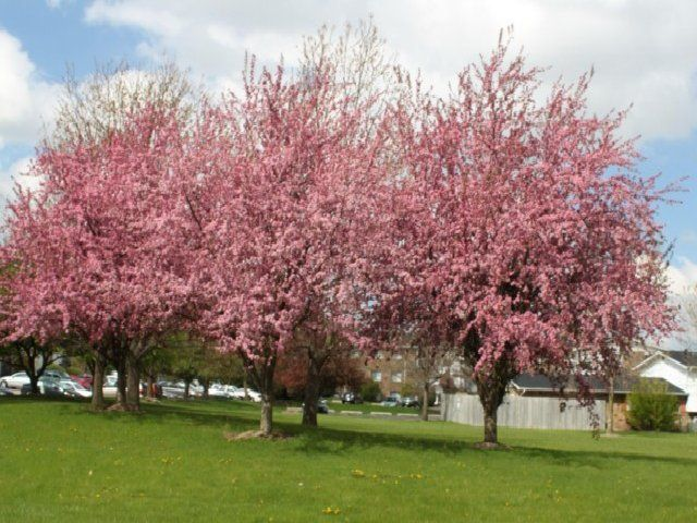 Zone 6 flowering trees 28 images ornamental trees for Flowering ornamental trees zone 5