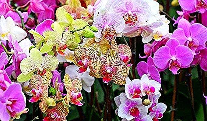 Kebun Bunga Anggrek