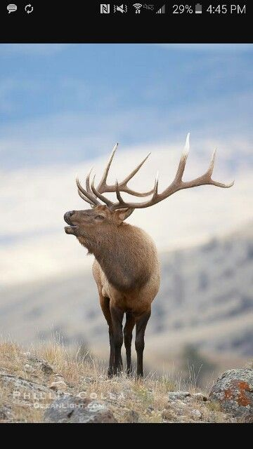 Elk tattoo