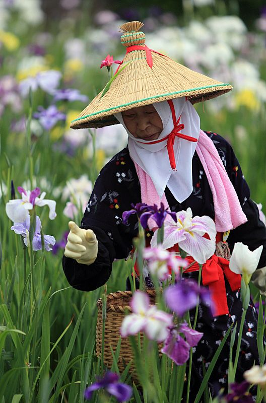 Picking Iris petals in a traditional costume, Ibaraki, Japan Copyright: Takero Kawabata