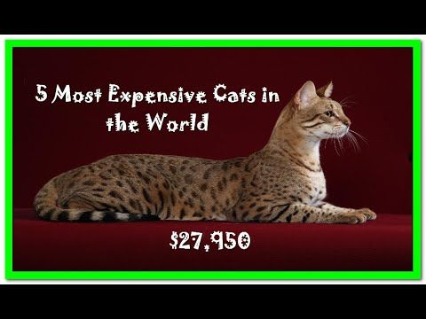 5 Most Expensive Cats in the World