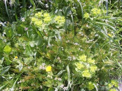 Natural plant combination from La Sella del Diavolo/The Devil Saddle in Sardinia - Mercurelli's Garden Design picture