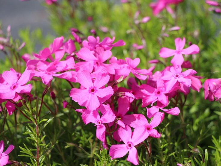 Polster-Flammenblume 'Mac Daniels Cushion' - Phlox subulata 'Mac Daniels Cushion'