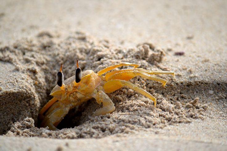 Nilaveli Beach Ghost Crab, Pigeon Island