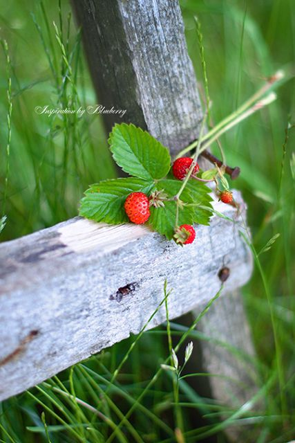 Country Gray & Red - wild strawberries