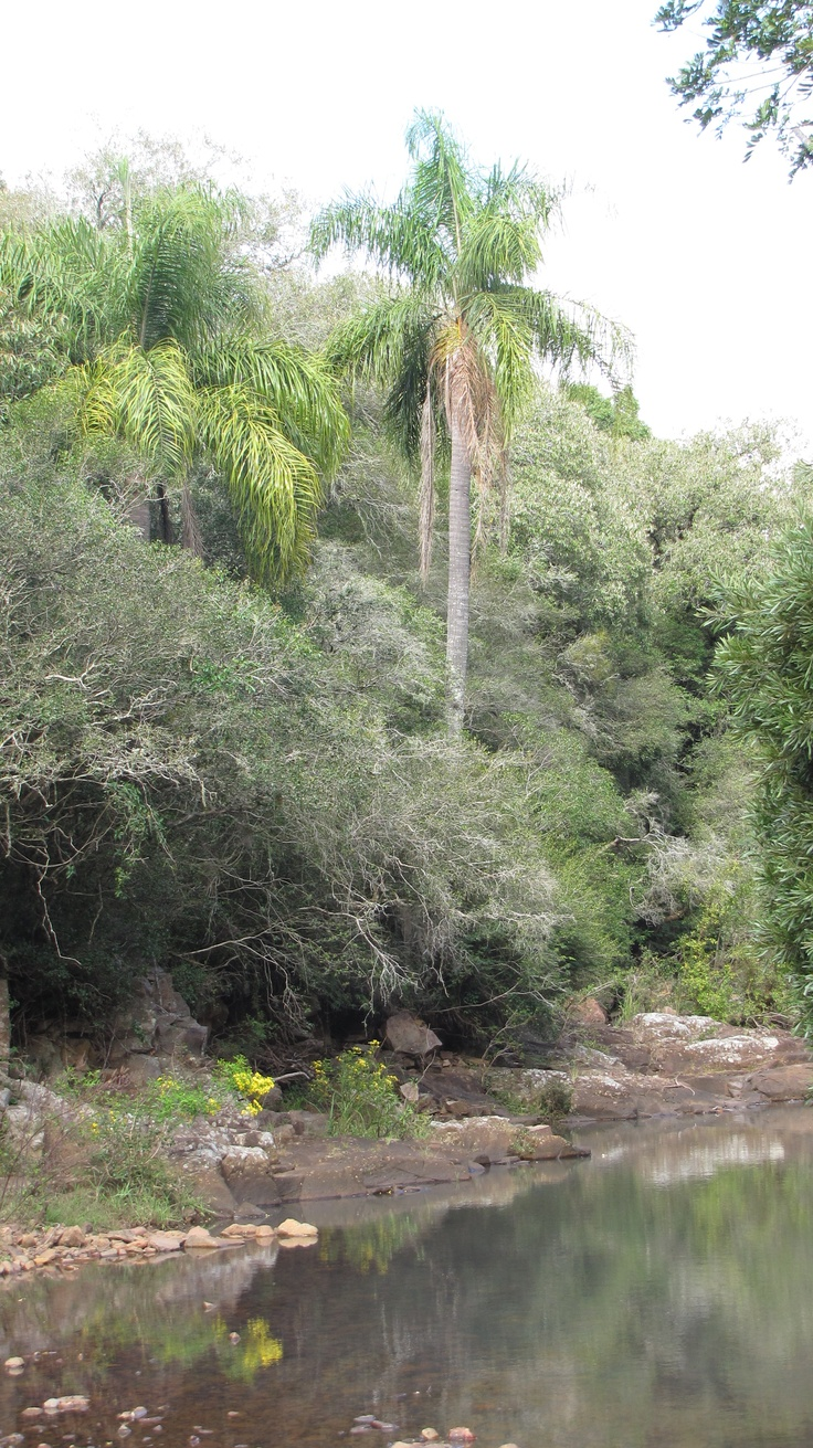 La palmera (pindó) del Valle del Lunarejo. También protagoniza...