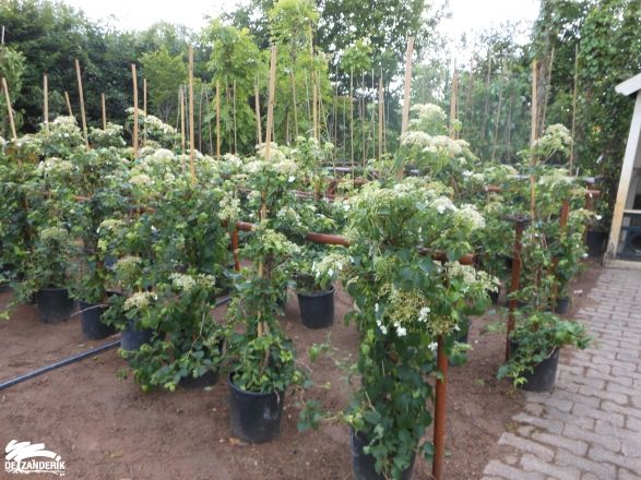 hydrangea anomala petiolaris kwekerij - Google zoeken