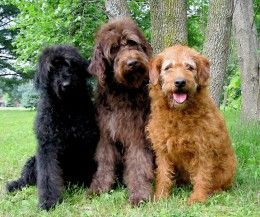 Know the top most successful cross-breed, mixed-breed or designer dogs that includes Labradoodle, Shih poo, Golden Doodle, Cockapoo, Maltipoo, Golden Indian Dog, Puggle, Cockalier, Goldad & Yorkipoo.