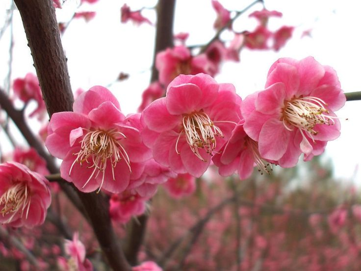 Prunus mume Omoinomama House Garden Pinterest Trees