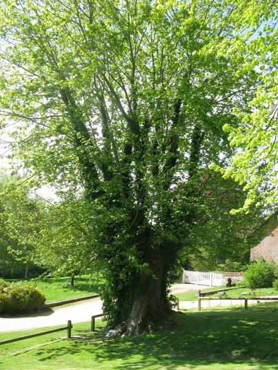 The Tolpuddle Martyrs Tree: This is one of the most famous trees in the UK - under this tree in 1834, six poorly-paid agricultural labourers met and formed the first trade union in Britain. The Tolpuddle Six were arrested but they were eventually pardoned, and returned to their village where the sycamore still stands proud. http://www.ancient-tree-hunt.org.uk/discoveries/newdiscoveries/2009/The+Tolpuddle+Martyrs+Tree?utm_source=pinterest&utm_medium=social&utm_campaign=wt_2014