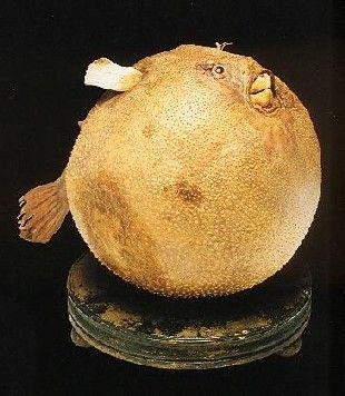 Il pesce palla del Museo Settala