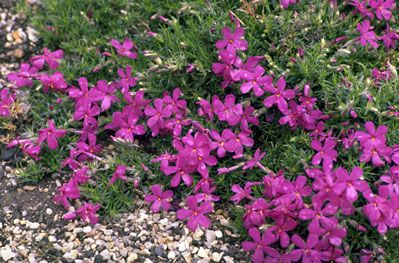 Phlox douglasii 'Crackerjack' AGM / RHS Gardening