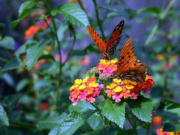 Best 25 lantana bush ideas on pinterest lantana flower - Butterfly and hummingbird garden designs ...