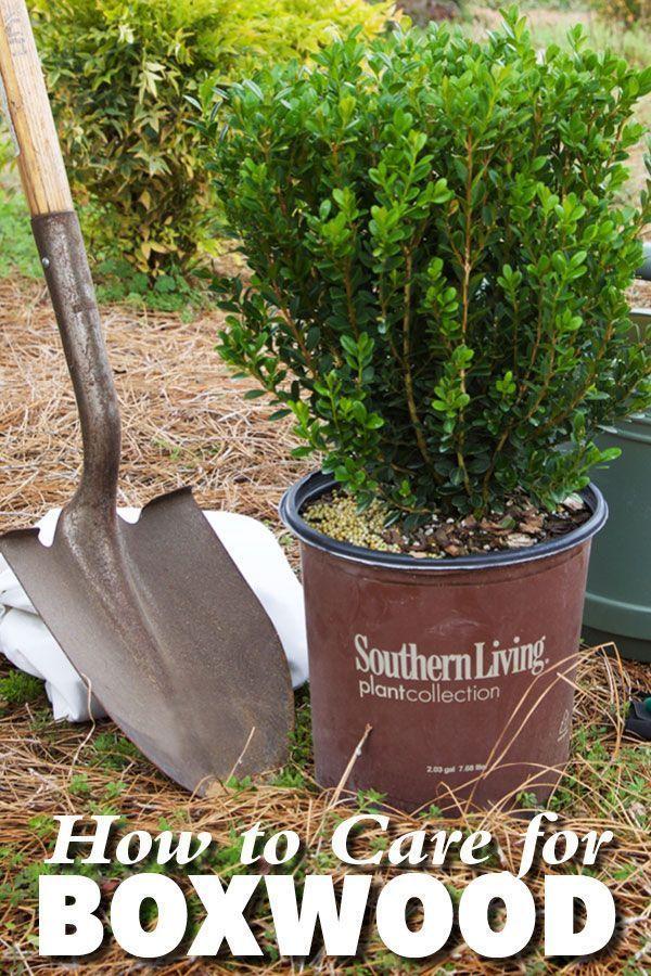 How To Care For Boxwood Boxwood Landscaping Boxwood Garden Boxwood Plant