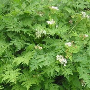 55 best herbchervil images on Pinterest Herbs Medicine and Farmers