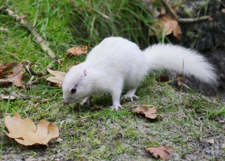 Zeer zeldzame witte eekhoorn in duingebied Noord-Holland. Fotograaf Beekvelt