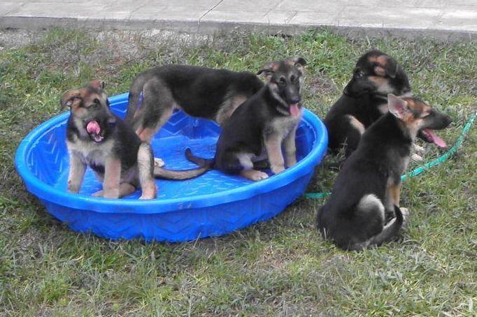 Gerald Micklow Has German Shepherd Dog Puppies For Sale In