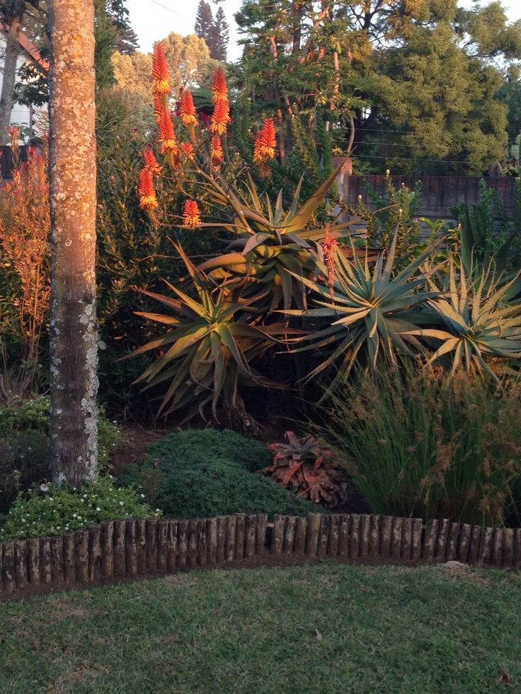 These aloes grow in our garden in Eshowe. The sunbirds love them.