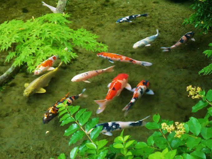 用水路に鯉が泳ぐ!美しい湧き水の町島原で城下町散策 | 長崎県 | Travel.jp[たびねす]