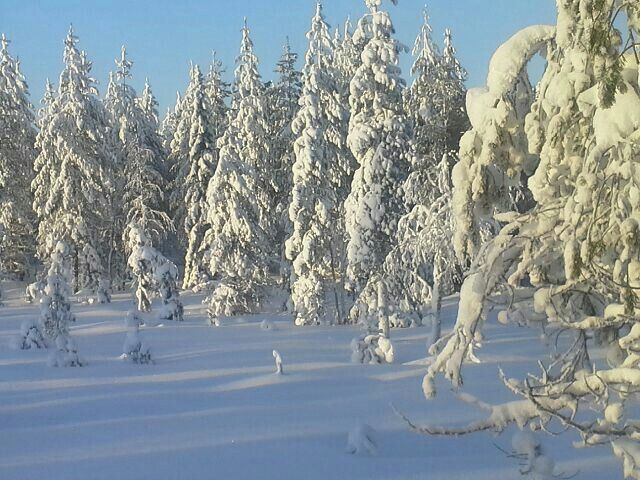 Talvinen metsä tammikuussa 2016, Kuusamo