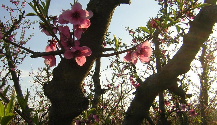 San Joaquin Valley Blossoms