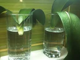 Картинки по запросу выращивание орхидеи в вазе в воде