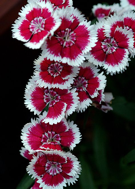 Dianthus barbatus- Sweet William