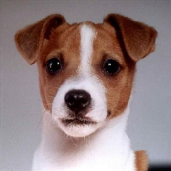 Image detail for -Jack Russell Terrier Puppies, Jack Russell Terrier Breeders, Jack ...
