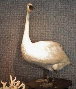 Opgezette Dieren: Witte Zwaan Cygne Blanc  Deze Grote Witte Zwaan is een Trompetzwaan. Een soort dat in het wild voorkomt in Noord Amerika ( deze komt bij een kweker vandaan)  Deze imposante versch...