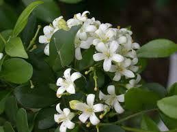 Image result for orange jasmine