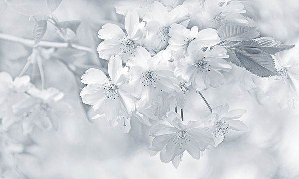 Spring Cherry Flower Blossoms of Soft Gray Photography art design by Jennie Marie Schell. #flower#gray#grey#white