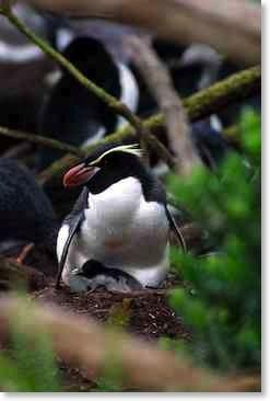 Snares Penguin: <i>Eudyptes robustus</i>