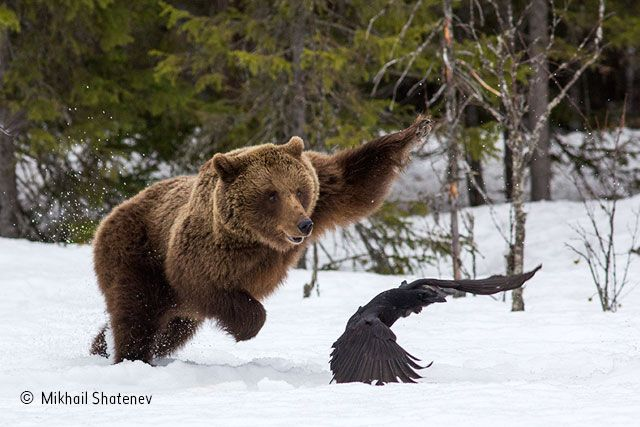 Wildlife Photographer of the Year 2016 | Beware a mother bear | Mikhail Shatenev