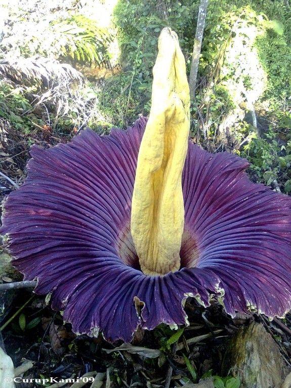 arum titan flower | Smelliest Flower to Bloom in Edinburgh | Edinburgh | NileGuide