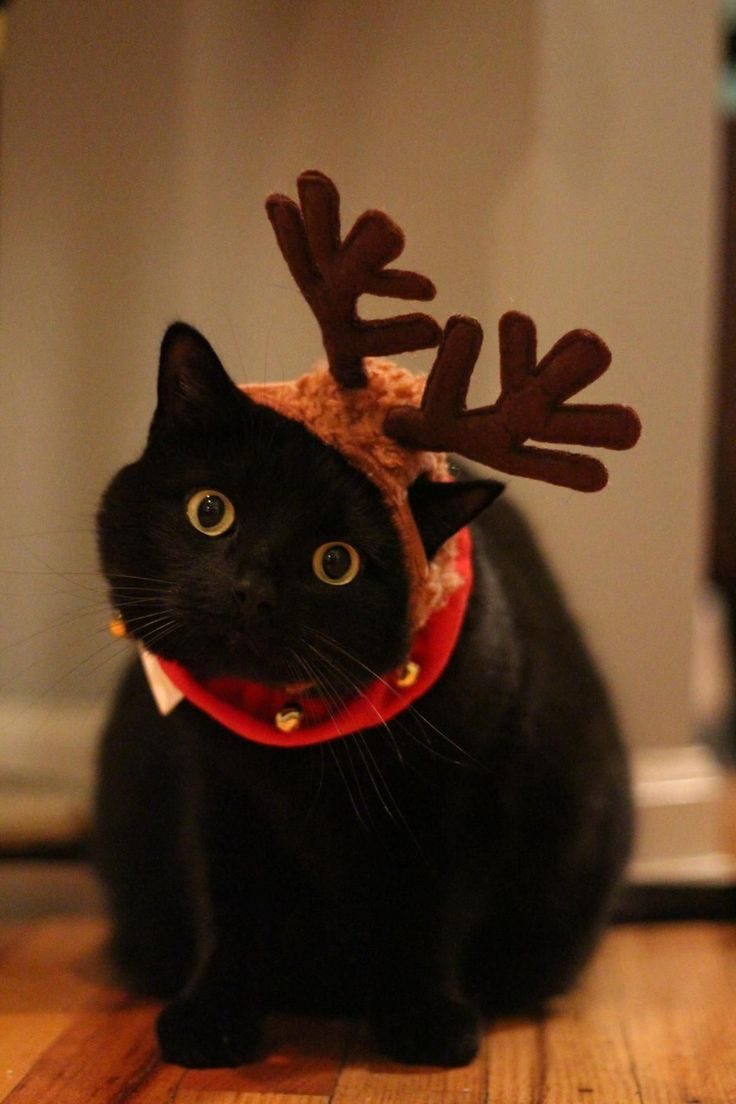487 best Cats in Hats images on Pinterest | Animals, Christmas ...