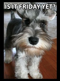 Schnauzer Yes, my boys are so happy when its the weekend and I am home! (So am i;0)