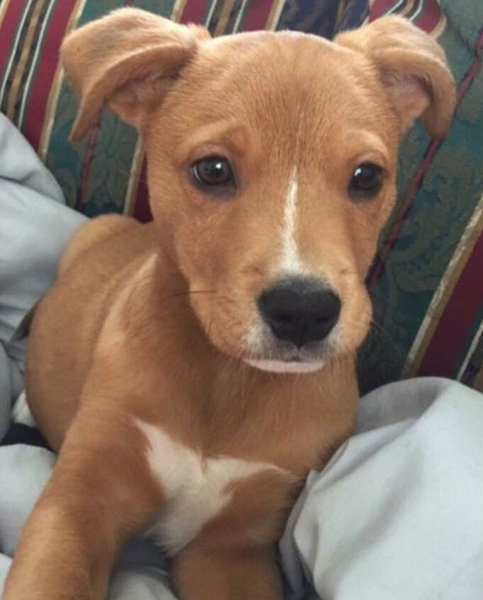 Cutie!! Pitbull and Golden Retriever mix