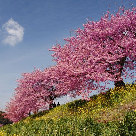 Magnificent Pink Blooms -  - Hardiest of all cherry trees - Rapidly grows to a mature height of 30-40 ft.  The Kwanzan Flowering Cherry Tree is easily the showiest of all Cherry Trees. Its flowers aren't just pink... but 'Double Pink,' meaning you get twice as many petals and twice as many blooms as found on other...