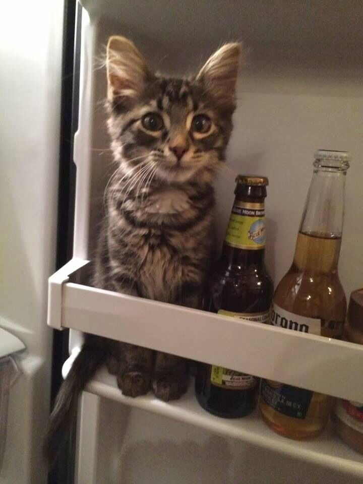 """* *KITTEH: """" Howz could yoo? Me haz been dry ands sober fer almost a year ands yoo park me in dis fridge wif alcoholic products rights here!  Gemme out! """""""